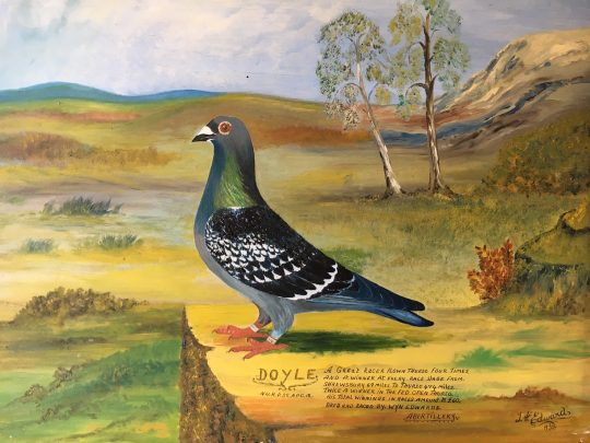 Doyle – racing pigeon sold